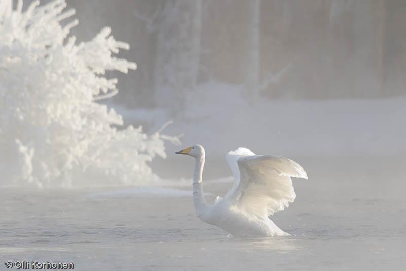 Laulujoutsen talvella pakkashuuruissa, Tyyrinvirta.