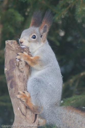Nuori harmaaturkkinen orava.