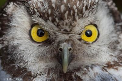 Helmipöllö tuijottaa, Boreal Owl, Tengmalm's Owl, Chouette de Tengmalm, Aegolius funereus, Pärluggla, Rauhfuߟkauz
