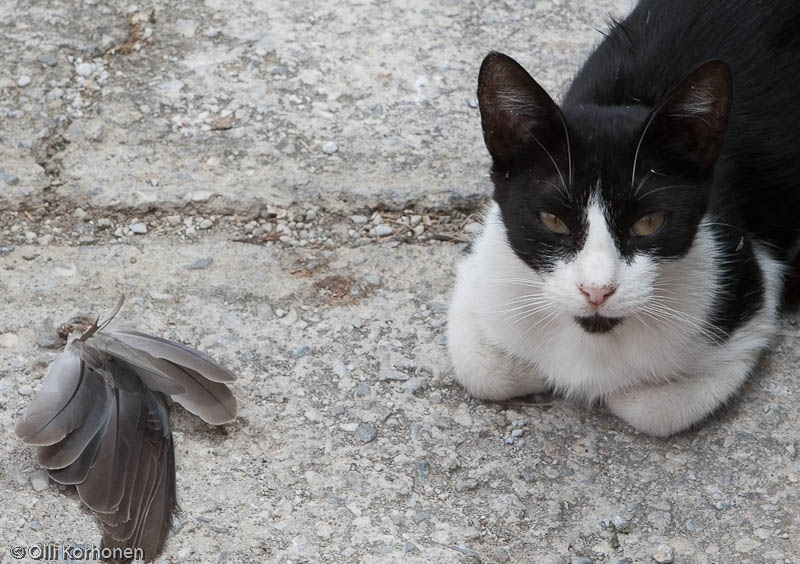 Kissa ja juuri syödyn kyyhkyn siipi