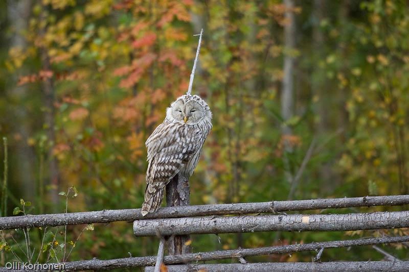 Kuva, photo, foto: viirupöllö, ural owl, chouette de l'oural, strix uralensis, slaguggla, Habichtskauz