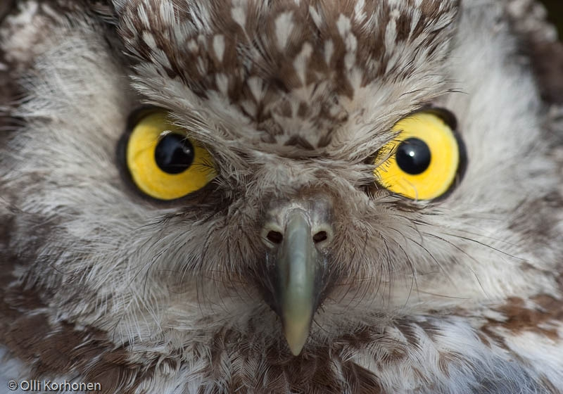 Helmipöllö tuijottaa.