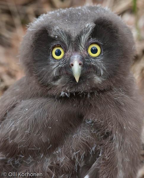 Helmipöllön pieni poikanen lähikuvassa.