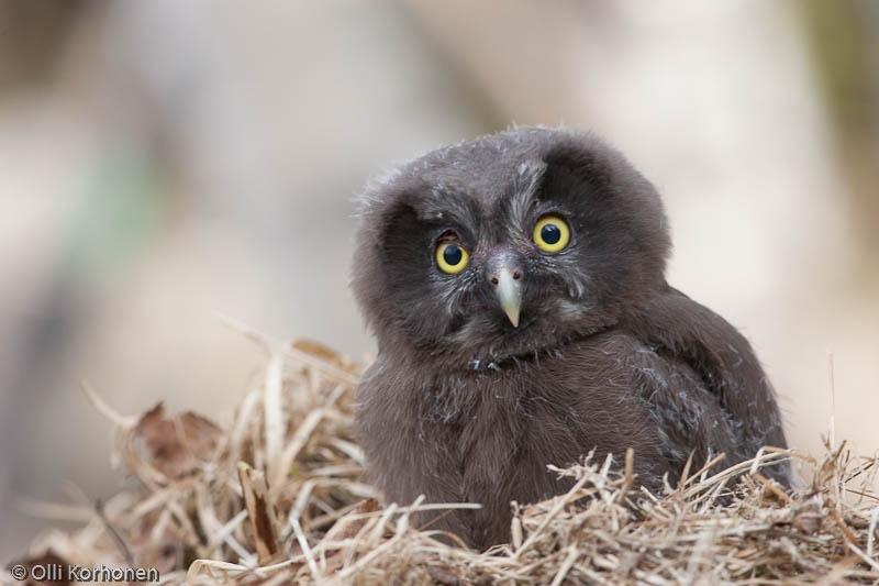 helmipollo, Tengmalm's Owl, Chouette de Tengmalm, Aegolius funereus, Parluggla, Rauhfu?kauz