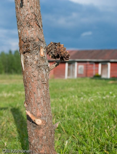 Suoraan puun rungosta kasvava käpy.