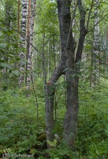 Yhteenkasvaneet kaksi harmaaleppaa Vesannolla kesalla 2004.