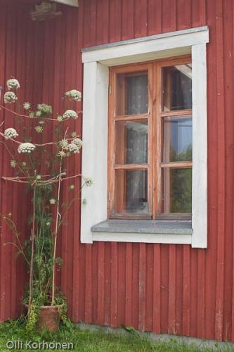 Valtava porkkanan naatti oli kasvatettu pienesta porkkanasta kukkaruukussa Vesannolla kesalla 2004.