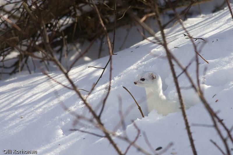 Lumikko kurkistaa lumihangesta.