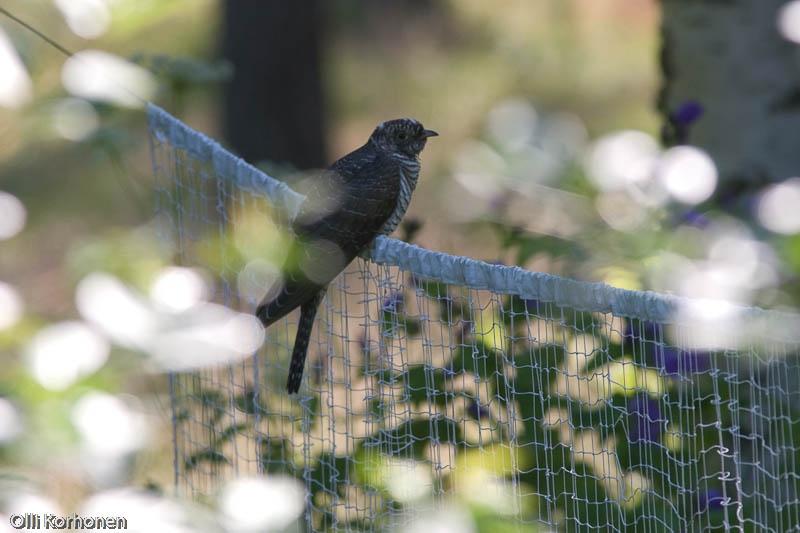Nuori käki puutarhassa sulkapalloverkon päällä.