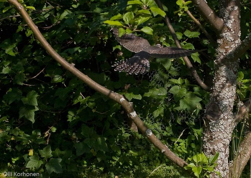 Nuori käki lentää omenapuuhun.