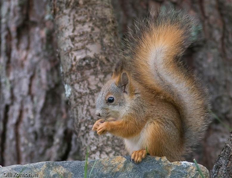 Nuori pörröhäntäinen oravanpoikanen.