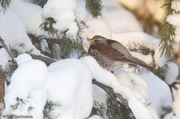 Räkättirastas talvella  lumisessa männyssä.