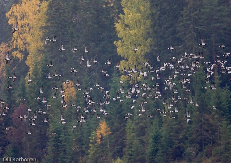 Valkoposkihanhet lentävät metsämaisemassa.
