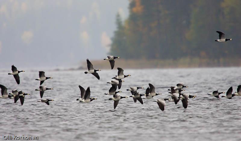 Valkoposkihanhia lentää järven yllä Rautalammin Vesterilässä.