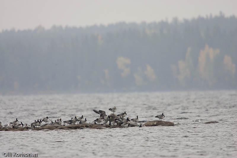 Suuri valkoposkihanhien muuttoparvi lepää Niiniveden luodolla.
