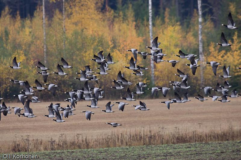 Valkoposkihanhia lennossa ruskamaisemassa Suonenjoen Pirttilässä.