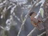 Kuukkeli lumisen metsän siimeksessä.