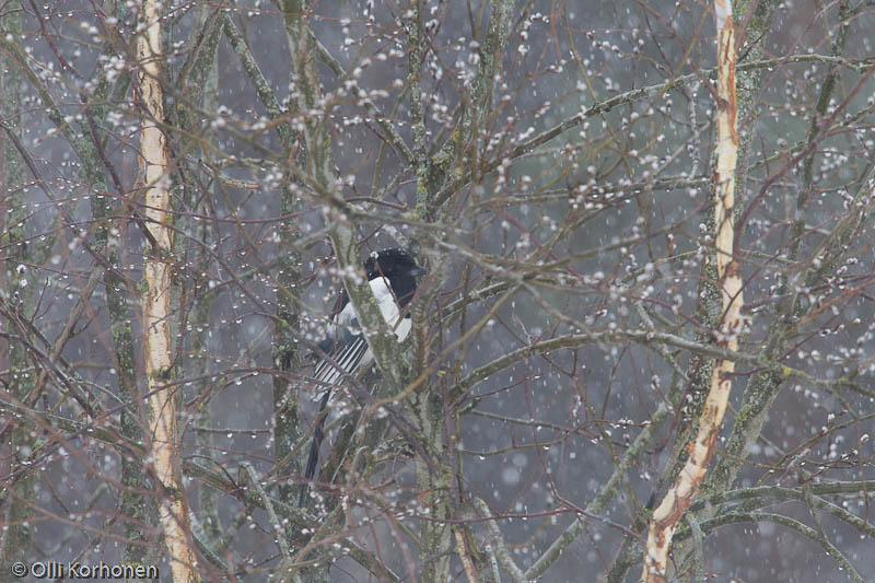 Harakka lumisateessa pajukissojen keskellä