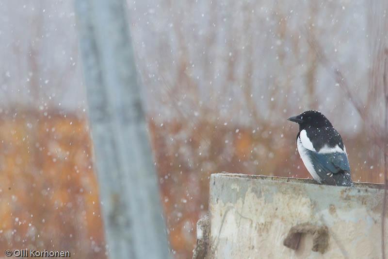 Harakka lumisateessa.