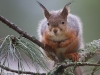 Orava katsoo Sinua silmiin.