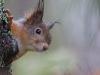 Orava kurkkii puun rungon takaa.