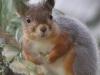 Nuori orava ihmettelee oksalla.