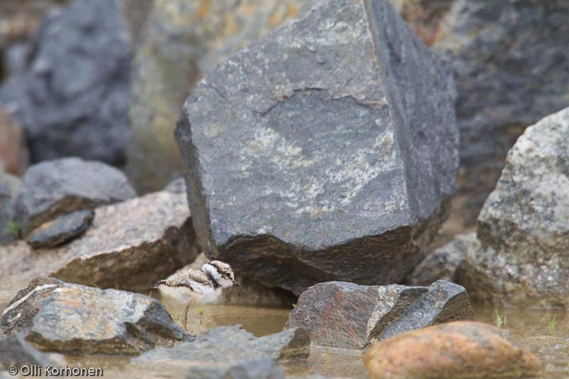 Pikkutyllinpoikanen kivilohkareiden keskellä.