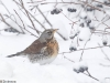 Räkättirastas kahlaa lumihangessa.