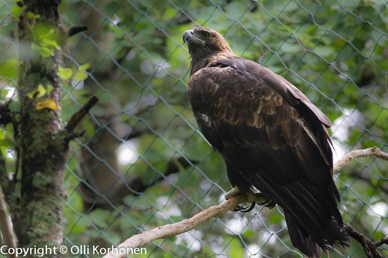 Maakotka, Ranua Zoo.