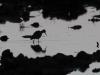 Valkoviklo iltahämärässä vesilammikolla.
