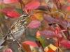punakylkirastas marja-aroniassa syysruskan aikana
