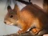 Nuori orava oksalla.