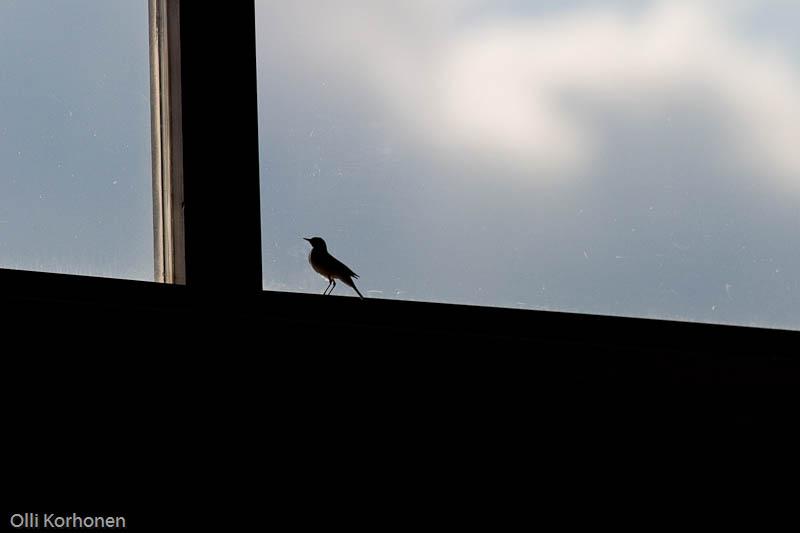 Västäräkki seisoo jähmettyneenä lasisessa vankilassaan.