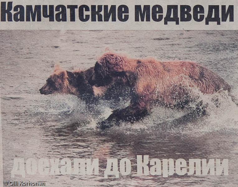 Karhut kisaavat vedessä, Petroskoi 2011