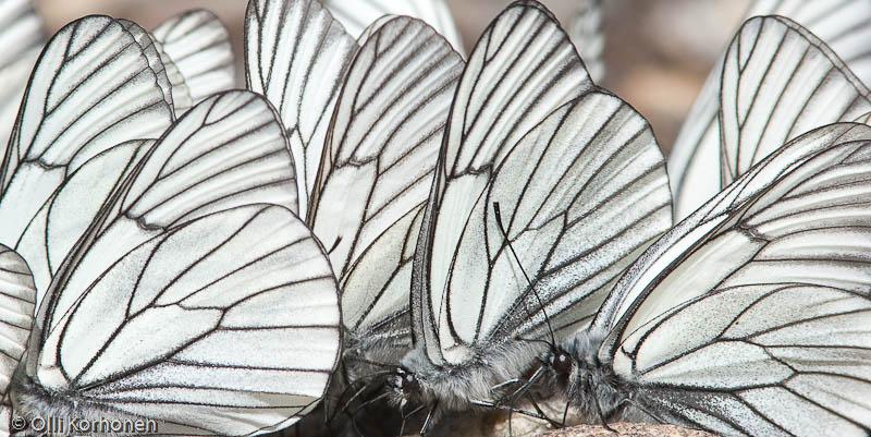 Siivet, Vuoden luontokuva 2011-ehdokas
