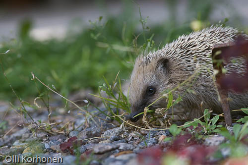 siili, hedgehog