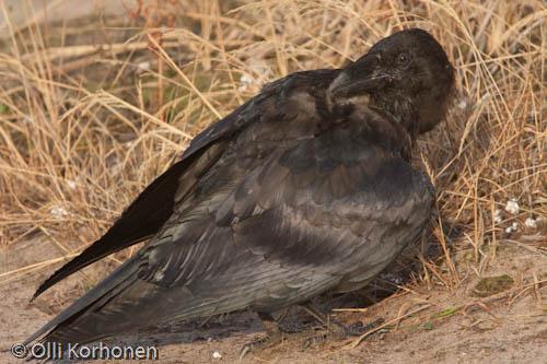 korppi, raven, clean, puhdistaa, lintu, bird, kuva, photo