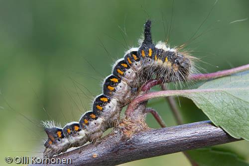 nuoliyökkönen, toukka, larva, grey dagger, acronicta psi, kuva, photo