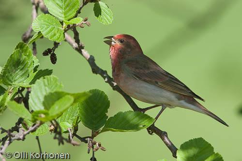 Kuva, photo, Foto, punavarpunen, Common Rosefinch, Roselin cramoisi, Carpodacus erythrinus, Rosenfink, Karmingimpel