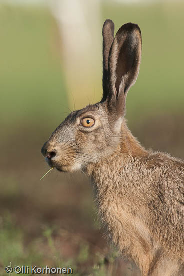 Kuva, photo, foto: rusakko, lepus europaeus, European hare, brown, brown hare, Feldhase, lièvre d'Europe, fälthare