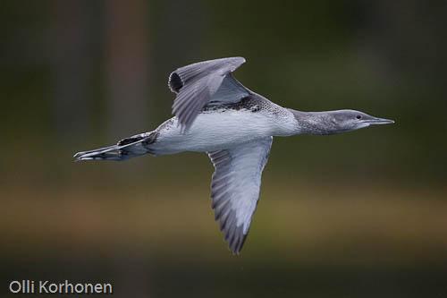 Kuva: Nuori kaakkuri lentää. Lähikuva.