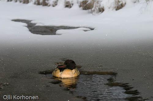 Kuva: Eläinrääkkäyksen kohteeksi joutunut isokoskelo piileskelee sulassa sillan alla.