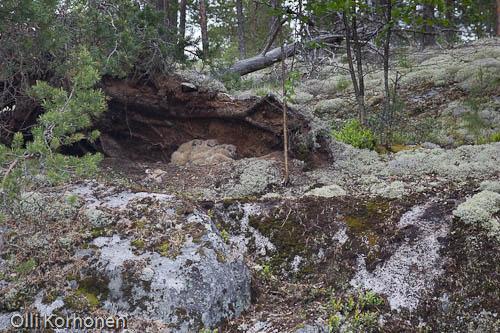 Kuva: Huuhkajan pesä poikasineen jäkälänpeittämän kallion huipulla.
