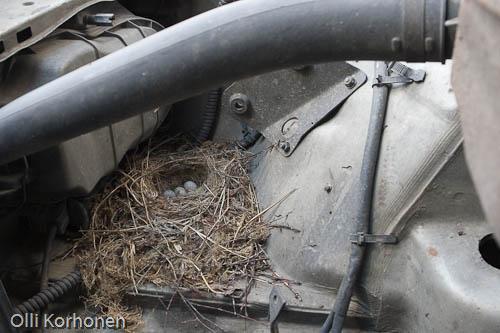 västäräkin munapesä auton moottoritilassa.