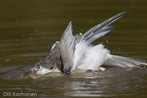 Kalatiira kylpee. Common tern having a bath.