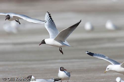 Kuva: Naurulokkeja lentää jään yläpuolella.