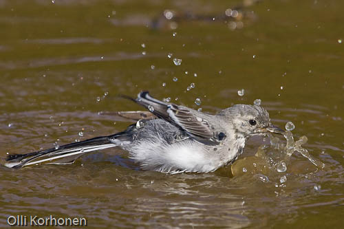 Västäräkki kylpee. White wagtail havin a bath. Une bergeronnette gris se baigne.