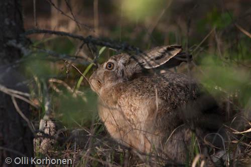 Kuva: Rusakko lepää metsän siimeksessä.