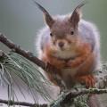 Orava tuijottaa kuvaajaa.