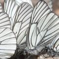 Pihlajaperhoset tungoksessa